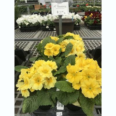 4″ Primrose at The Pocatello Greenhouse
