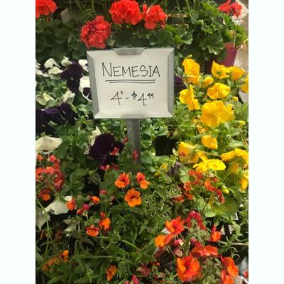 Nemesia at The Pocatello Greenhouse