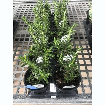 Rosemary Herb at The Pocatello Greenhouse
