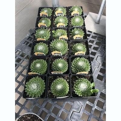 Shop Pocatello The Pocatello Greenhouse Sedum