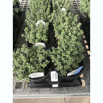 Thyme Herb at The Pocatello Greenhouse