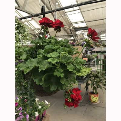 Red Geranium Hanging Basket at The Pocatello Greenhouse
